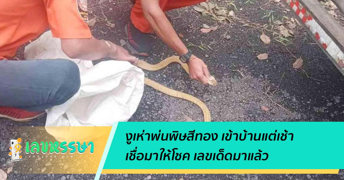 งูเห่าพ่นพิษสีทอง เข้าบ้านแต่เช้า  เชื่อมาให้โชค เลขเด็ดมาแล้ว